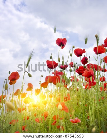 Poppy meadow. Composition of nature.