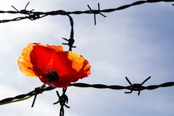 Poppy on the barbed wire