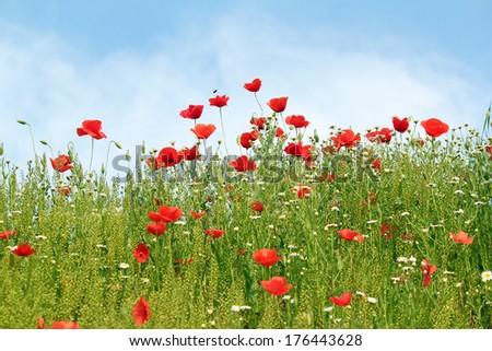 poppy wild flowers spring season