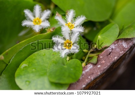 Popular water lily for the water garden are white water snowflake, Floating Heart, Nymphoides indica. it is a pretty, A blooming colony indeed looks like snow-flakes on water #1079927021