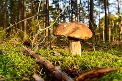 Porcini Cep White Mushroom King (Boletus Pinophilus) Mycelium grow in moss in a forest. Big bolete mushrooms in wildlife in of sunbeams.  Mushrooming harvesting season. Herbal  and healthcare concept