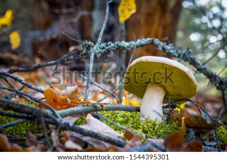 Porcini mushroom grows in nature. Autumn mushrooms grow in forest. Natural raw food growing. Edible cep, vegetarian natural organic meal #1544395301