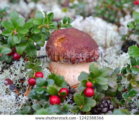 Porcini mushroom with wild cowberries