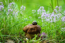porcini mushrooms in green grass with meadow flowers. snail on a beautiful fresh edible mushroom, snail shell and white mushroom in the forest, close-up, natural background