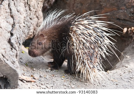 Porcupine - stock photo
