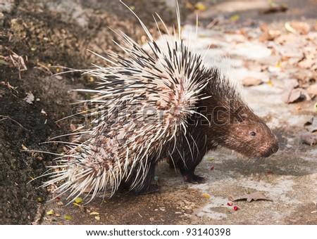 Porcupine - stock photo