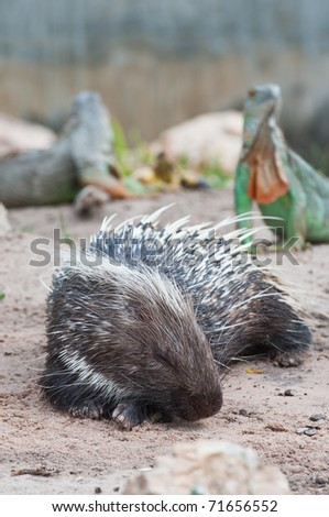 Porcupine and Green Iguana