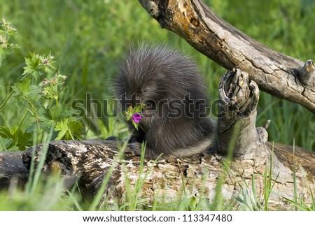 Porcupine baby eating a purple flower. Northern Minnesota - stock photo