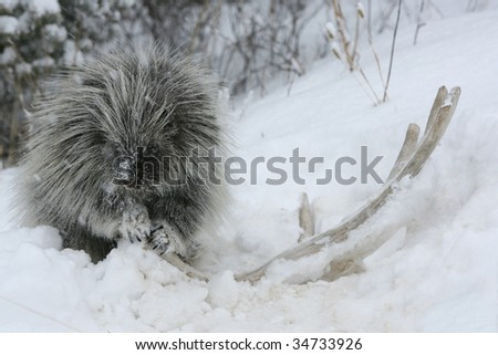 Porcupine chewing on moose antler