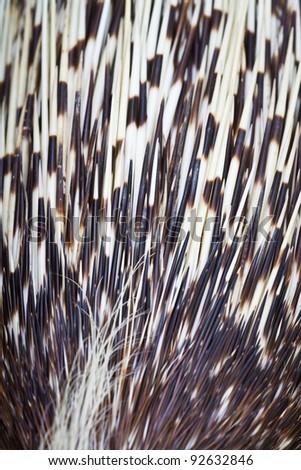 porcupine detail