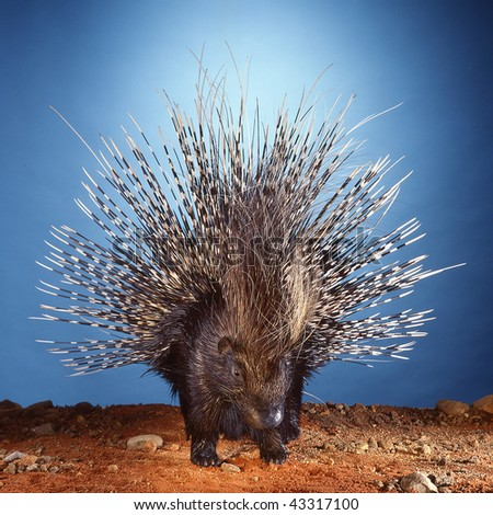 porcupine displaying its quills