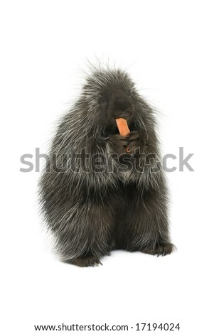 Porcupine eating a carrot on a white background - stock photo