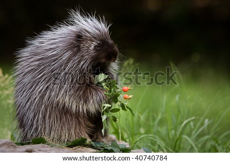 Porcupine eating berries.