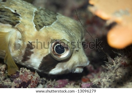 Porcupine-fish on the bottom underwater. Borneo island