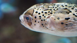 Porcupine fish swim in clear clear blue water over a coral reef. tropical puffer fish in an aquarium against the background of colorful tropical fish