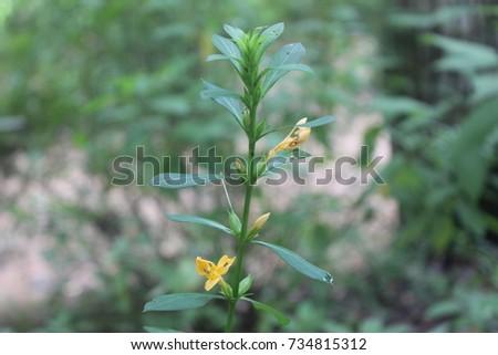 porcupine flower medicinal plant