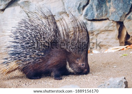 Photo of  Porcupine in a Zoo in Prague, the Czech Republic. Large Porcupine, Common Porcupine. Close up of a big porcupine.
