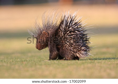Porcupine in bright morning sun on short grass - stock photo