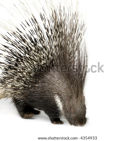 Porcupine in front of a white background - stock photo