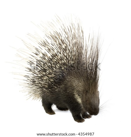 Porcupine in front of a white background