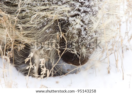 Porcupine in Winter Saskatchewan Canada snow and cold
