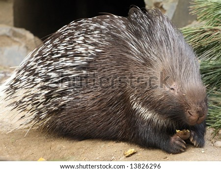 Porcupine in ZOO Prague - Czech Republic Europe - stock photo