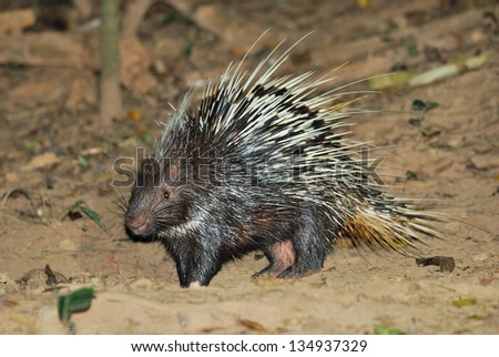 Porcupine living in the night searching for food