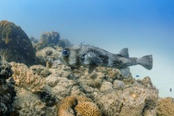 Porcupine Puffer Fish with coral and blue background, Mauritius