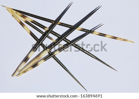 Porcupine Quills Background - Decorative arrangements from Mother Nature