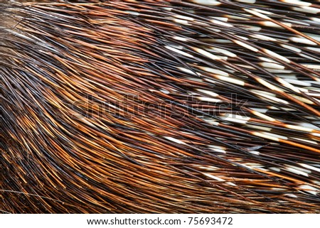 porcupine quills close