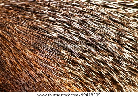 porcupine quills details - stock photo