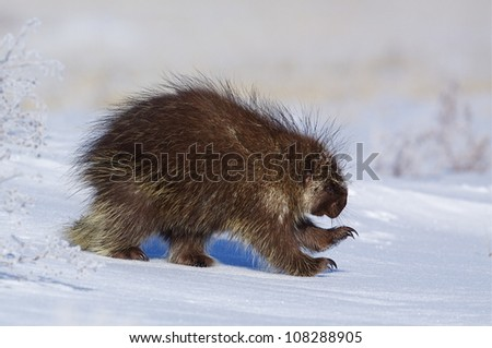 Porcupine running thru winter snow, Colville Indian Reservation, Washington