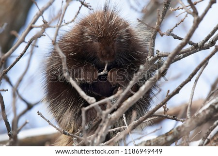 Porcupine sitting in a tree eating twigs in spring in Canada