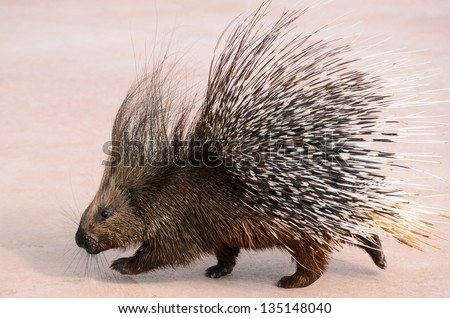 porcupine walking - stock photo