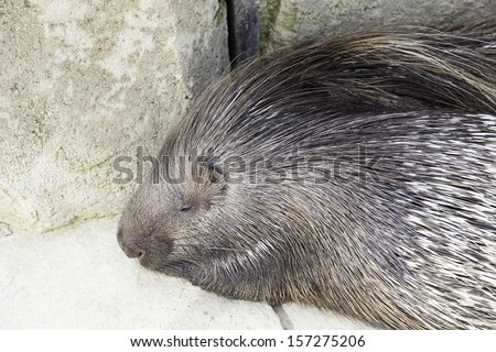 Porcupine wild in a zoo, an animal detail exotic mammal