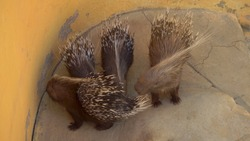 Porcupine young are looking for food. Porcupines in the African zoo in the open air. Animals Out of Will