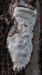 Poria sp fungus approx 300mm long growing on tree trunk, NSW, Australia