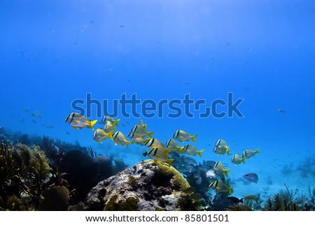 Pork fish swimming on the Shangrila reef