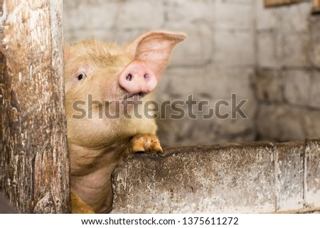 pork snout looks out of the barn