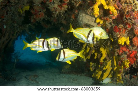 Porkfish and a Blue Stripe Grunt using a cement culvert for shelter.