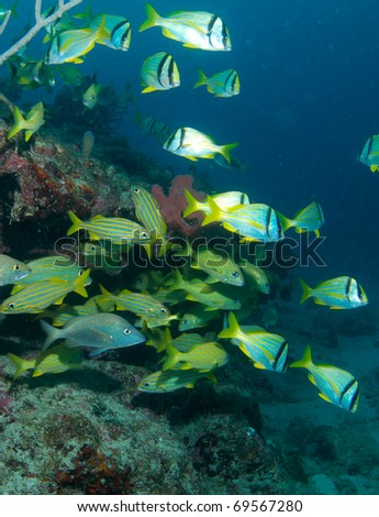 Porkfish and French Grunts on a reef ledge in south east Florida.