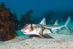 Port Jackson Shark On A Sandy Sea Floor