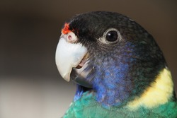 Port Lincoln is Australian ringneck, the broad-tailed parrot from species Barnardius zonarius.