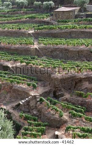 Port Wine Vineyards, Portugal