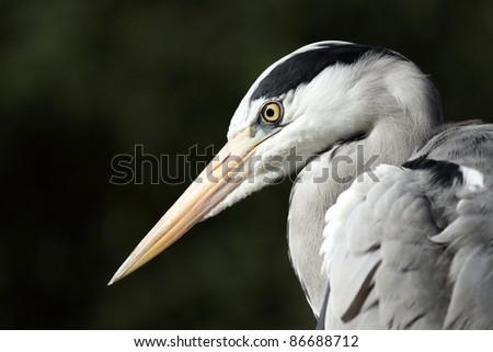 portait of a grey heron, Ardea cinerea