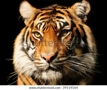 Portait of a majestic Sumatran tiger over black, endangered species