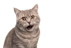 Portait of a silver tabby british shorthair cat licking its lips being hungry isolated on a white background