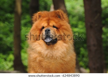 Portait of Chow Chow dog, Canis lupus familiaris. #624843890