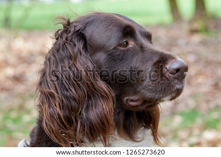 Portait of small munster lander dog (heidewachtel) looking in the distance #1265273620