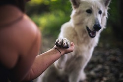 Portait oft an white swiss shepherd give a paw to the owener. Person holding hand with pet